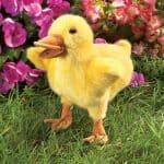 folkmanis_Duckling_puppet_2922.jpg