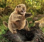 folkmanis_Groundhog_puppet_3034.jpg