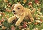 folkmanis_Labrador_Puppy_Yellow_puppet_2833.jpg