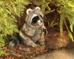 folkmanis_Raccoon_puppet_3075.jpg